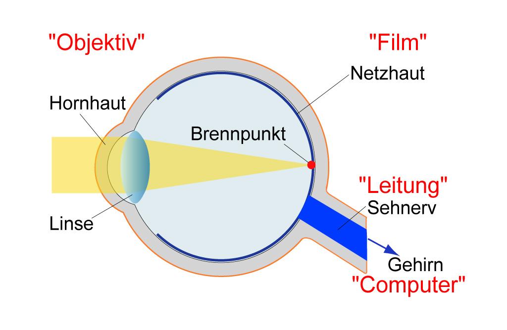 Aufbau Und Funktion Des Auges - Retina